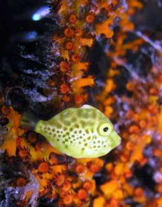 kapalaifilefish.jpg
